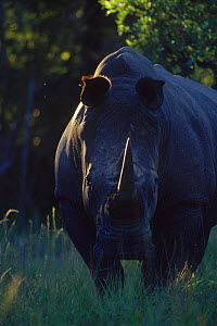 White rhinoceros {Ceratotherium simum} male at dusk, MM Game Reserve, South Africa - Richard Du Toit