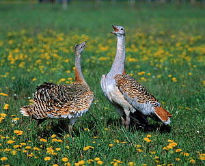 Great bustards vocalising {Otis tarda} East-Germany - Bengt Lundberg