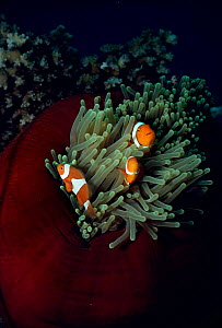 Clown anemonefish in anemone {Amphiprion percula} Coral sea, Australia.  -  Brent Hedges