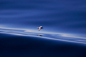 Fulmar flying over still water {Fulmarus glacialis} Scotland, UK  -  Chris Packham