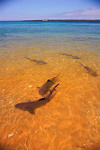 Whitetip reef sharks {Triaenodon obesus} in shallows near shore, Bartolome Is, Galapagos  -  Pete Oxford