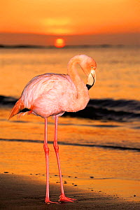 Greater flamingo at sunset on beach {Phoenicopterus ruber} Floreana Island Galapagos Is Book page 92  -  Pete Oxford