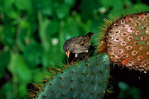 Large cactus ground finch {Geospiza conirostris} Tower (Genovesa) Is, Galapagos, tool making Book page 88  -  Pete Oxford