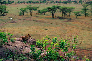 Landscape with leopard on lookout rock{Panthera pardus}, Masai Mara Game Reserve, Kenya - Anup Shah