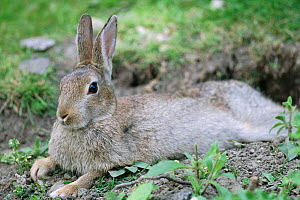 European rabbit resting  {Oryctolagus cuniculus} young adult, Yorkshire, UK  -  Paul Hobson