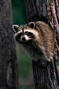 Raccoon in tree {Procyon lotor} Wisconsin, USA - Thomas Lazar