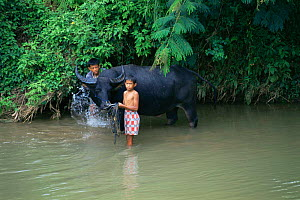 Children washing domestic Water buffalo {Bubalus arnee} in river, Central Sulawesi, Indonesia 2000. - Constantinos Petrinos