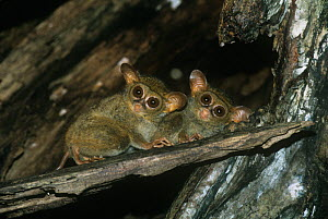 Two Spectral tarsiers {Tarsius tarsier / spectrum / fuscus} looking down from tree, North Sulawesi, Indonesia, Vulnerable species - Constantinos Petrinos