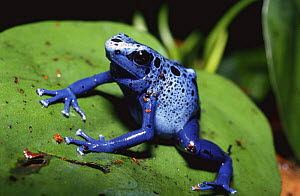 Poison Arrow / Blue Poison Dart frog {Dendrobates azureus} South America - Mark Payne-Gill