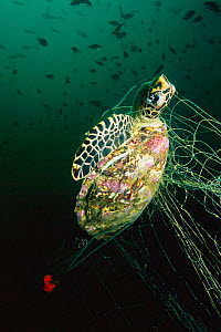 Young hawksbill turtle caught in fishing net {Eretmochelys imbricata} Andaman Sea, Thailand. Drowned dead  -  Georgette Douwma