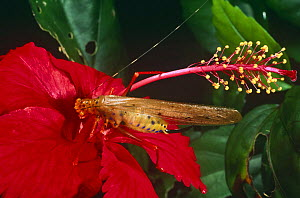 Bush Cricket on flower (Copiphora) Amazon, Euador - Pete Oxford