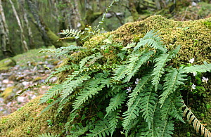 Polypody fern on fallen tree {Polypodium vulgare}, Oakwood, Inverness-shire, Scotland  -  Duncan Mcewan