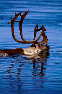 Caribou migration male crossing river {Rangifer tarandus} Kobuk Valley NP, Alaska, USA.  -  Staffan Widstrand