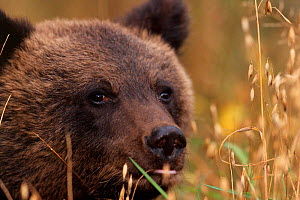 Female Brown bear cub in oatfield {Ursus arctos} Tverskaya oblast, Russia.  -  Staffan Widstrand