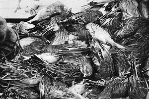 Boxes of dead skylarks {Alauda arvensis} & finches ready for market, Bordeaux, France.  -  Richard Porter