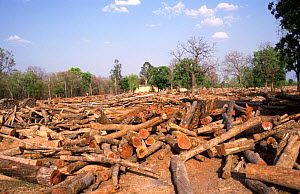 Teak tree logs ready for auction, Seoni, Central India.  In India all tree felling is done by the government, who then hold massive tree auctions. - Ashok Jain