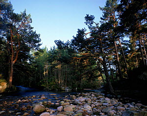 River in ancient pine forest Rothimercus Forest, Scotland.  -  Jim Hallett