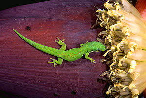 Day gecko on banana fruit {Phelsuma quadriocellata}, Ranamafana, Madagascar - Pete Oxford