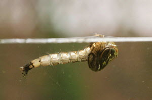 Mosquito {Culex pipiens} larva about to emerge from pupa at water surface UK - Martin Dohrn