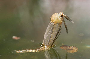 Mosquito adult emerging from pupa at water surface {Culex pipiens} UK  -  Martin Dohrn