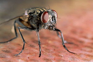 Common house fly close-up portrait - Warwick Sloss