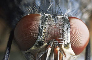 Common house fly {Musca domestica} close up of eyes, UK - Warwick Sloss