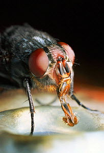 Common bluebottle fly adult feeding close-up  -  Warwick Sloss