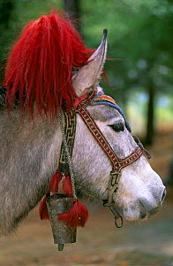 Decorated bridle of lead pack horse / donkey, Paro valley, Bhutan.  -  Pete Oxford
