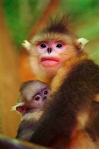 Yunnan snub nosed monkey female with baby, {Rhinopithecus bieti} Yunnan, China - Xi Zhinong