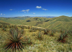 Puya hamat (Puya species}, a large terrestrial fire-resistant bromeliad, in the Ecuadorian Andes  -  MORLEY READ