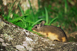 Mountain viscacha {Lagidium viscacia}, near Andahuaylas, Andes, Peru, South America  -  JIM CLARE