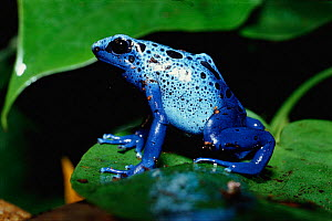 Blue Poison Arrow Frog {Dendrobates azureus} - Mark Payne-Gill