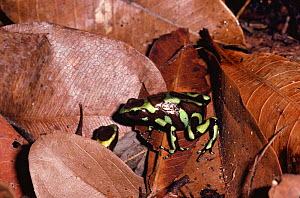 Male Green Poison arrow frog showing female egg deposit site {Dendrobates auratus}, Panama  -  Neil Bromhall