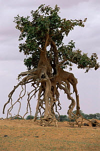 Tree with exposed roots on banks of Niger river, Mali, West Africa  -  Grant McDowell
