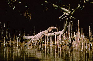 Asian Water Monitor lizard {Varanus salvator} among pneumatophores (aerial roots) in Mangroves, India - Gertrud & Helmut Denzau