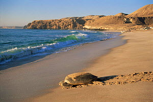 Green turtle returning to sea {Chelonia mydas} after laying eggs, Ras Al Junayz, Oman, October - Hanne & Jens Eriksen