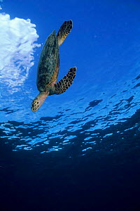 Hawksbill turtle {Eretmochelys imbricata} diving from sea's surface, Poive Is, Amirantes Group, Seychelles - Pete Oxford