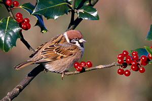 Tree sparrow in Holly bush {Passer montanus} Worcestershire, England, UK  -  Mike Wilkes