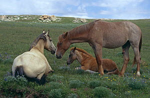 Mustang horse mare, stud and 2nd year foal {Equus caballus} Pryor Mountains, Montana, USA  -  Alastair MacEwen