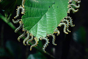 Sawfly larvae on Alder leaf {Craesus septentrionalis} England, UK  -  PREMAPHOTOS