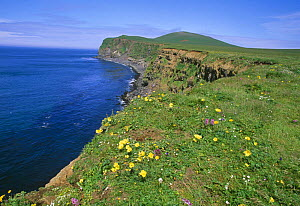 Arctic poppies on cliff top {Papaver radicatum} St Paul Is, Pribilof's, Bering Sea, Alaska  -  David Tipling