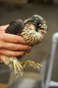 Confiscated juvenile Peregrine illegally collected from wild.  -  Richard Porter