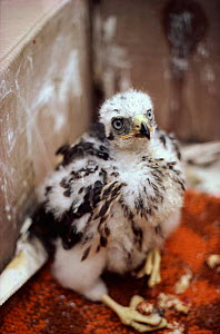 Confiscated goshawk nestling illegally collected from wild.  -  Richard Porter