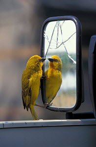 Holub's golden weaver {Ploceus xanthops} fighting reflection in car mirror, Botswana  -  Richard Du Toit