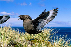 Antarctic skua aggressive display. South Georgia {Stercorarius antarcticus} - Hanne & Jens Eriksen