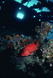 Long jawed squirrelfish {Sargocentron spiniferum} in wreck, Red Sea  -  Peter Scoones