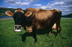 Jersey cow (Bos taurus) with device to prevent licking infected udders, Scotland, UK - Jason Smalley
