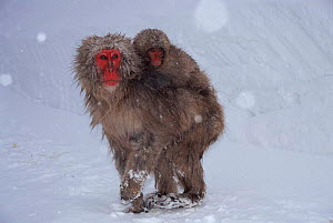 Japanese macaque carrying young in snow {Macaca fuscata} Japan  -  Miles Barton