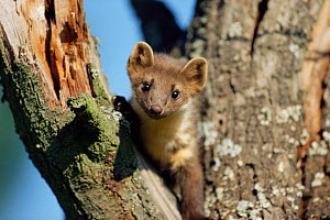 Pine marten looking down from a tree {Martes martes} captive - Dietmar Nill