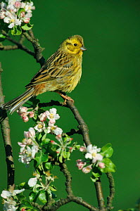Portrait of Yellowhammer perched amongst blossom {Emberiza citrinella} - Dietmar Nill